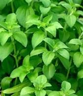 Tác dụng chữa bệnh của cây cỏ ngọt