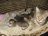 Cách chăm sóc mèo chửa đúng phương pháp