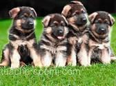 Kinh nghiệm nuôi chó sơ sinh