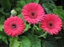 10 loại hoa mang may mắn cho ngày Tết