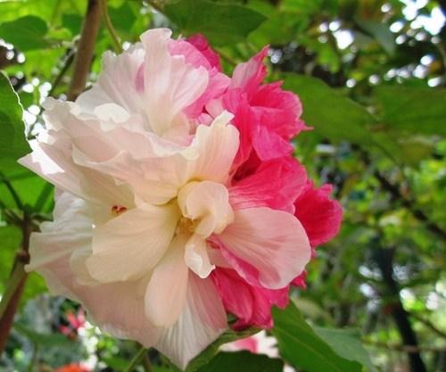 Ý nghĩa của loài hoa phù dung và những câu chuyện tình
