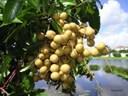 Các loại cây ăn quả ở miền Bắc: Cây nhãn