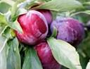 Các loại cây ăn quả ở miền Bắc: Cây mận