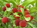 Các loại cây ăn quả ở miền Bắc: cây thanh mai