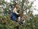 Các loại cây ăn quả ở miền Bắc: Táo mèo
