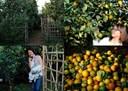 Các loại cây ăn quả ở miền Bắc: Cam