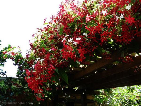 Cách trồng hoa sử quân tử cho hoa thơm, màu sắc đẹp