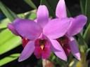 Các loại hoa lan ở Việt Nam: Phong lan Cattleya