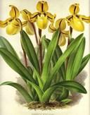 Các loại hoa lan ở Việt Nam: Phong lan Paphliopedilum - Lan hài
