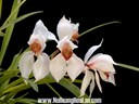 Các loại hoa lan ở Việt Nam: Cymbidium (Địa lan)