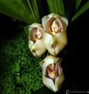Các loại hoa lan ở Việt Nam: Hoa Lan em bé