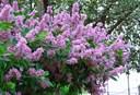 Các loại hoa màu tím kiêu sa: Hoa bằng lăng