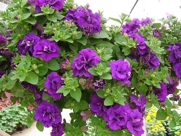 Với màu sắc đa dạng của mình, loàihoa Dạ yến thảo cũng không thể thiếu màu hoa tím. Một điều thú vị có thể bạn chưa biết là màu hoa Dạ yến thảo càng đậm thì