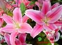 Ý nghĩa của hoa huệ tây cực thú vị
