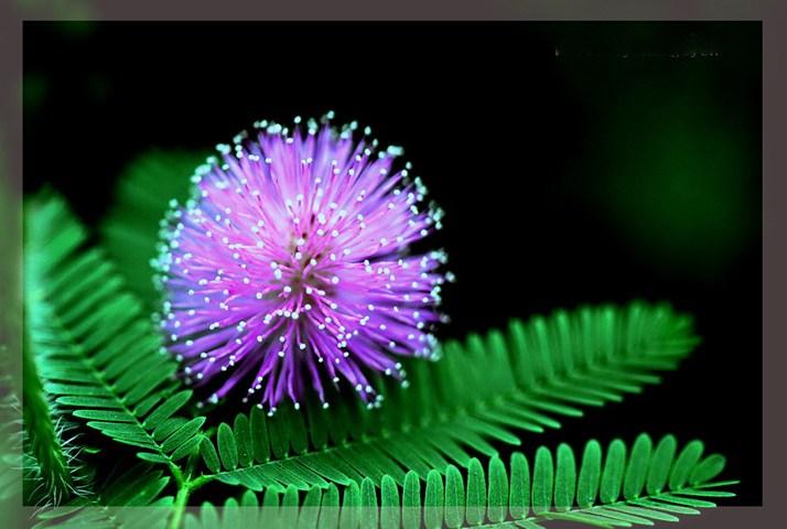 Ý nghĩa của hoa trinh nữ và câu chuyện hay về loài hoa này