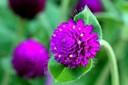 Ý nghĩa của hoa bách nhật: lòng trung thành