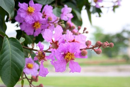 Thế nên từ đó loài người cho hoa Bằng Lăng Tím là loài hoa chung thủy, sự ngây thơ của màu tím đã tượng trưng cho tình đầu của thuở học trò. Hoa Bằng lăng tím