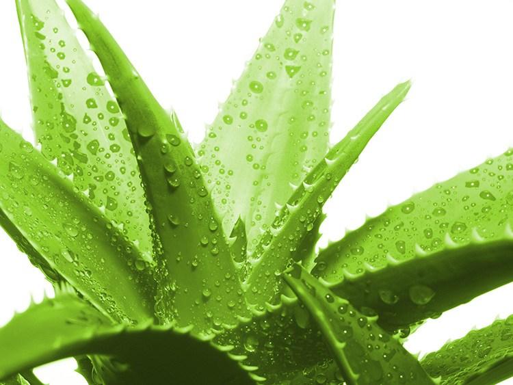 Trồng và chăm sóc cây Nha đam Cây Nha đam hay còn gọi là Lô hội là một loại cây trồng cạn, có khả năng thích nghi với nhiều loại đất khác nhau. Ở nước ta, cây