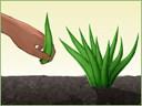 Cách trồng và chăm sóc cây nha đam mập mạp xanh tốt