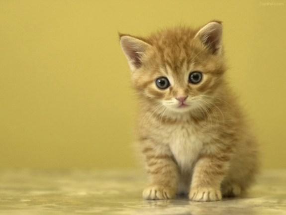 Cách chăm sóc mèo tây khỏe mạnh