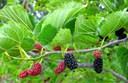 Công dụng chữa bệnh của cây dâu tằm:tác dụng không ngờ