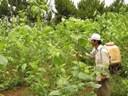 Công dụng chữa bệnh của cây dâu tằm: Điều trị mồ hôi trộm