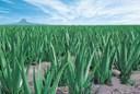 6 bí quyết trồng lô hội ra nhiều lá và xanh tốt cực đơn giản