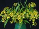 Cách trồng và chăm sóc Lan Vũ Nữ cho hoa đẹp nhất