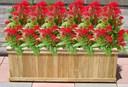 Cách trồng hoa mào gà cho hoa nở rộ