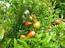 Hướng dẫn trồng cây lựu mang tài lộc vào nhà