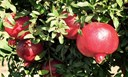 Hướng dẫn trồng cây lựu cực đơn giản