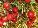 Hướng dẫn trồng cây lựu ra nhiều quả