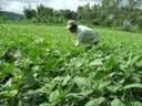 Hướng dẫn trồng cây đậu xanh không bị sâu bệnh