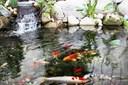 Cách nuôi cá chép koi Nhật: những lý do nên nuôi loại cá này