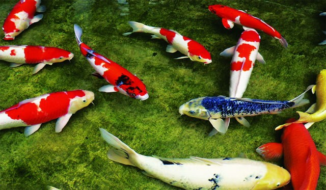 Nước Nuôi Cá Chúng là loài cá to nên cần môi trường nước khá rộng. Ðể cá có sức khoẻ vững bền, nước nuôi cá phải luôn được giữ trong sạch. Thường xuyên kiểm
