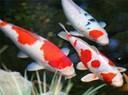 Cách nuôi cá chép koi Nhật không bị bệnh