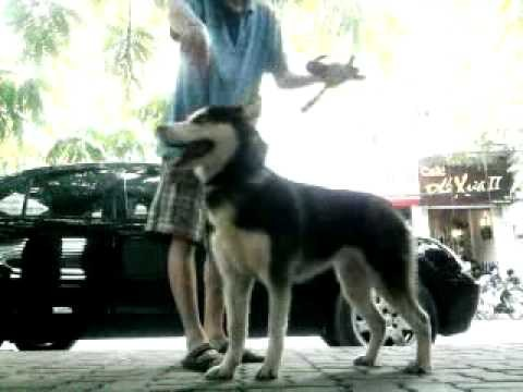 Video clip Phương pháp nuôi chó husky: Cách huấn luyện