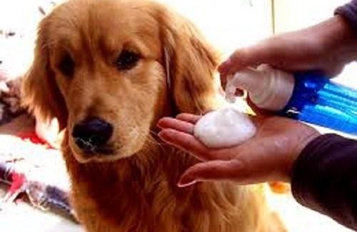 Phương pháp nuôi chó cảnh: cách trị ve chó
