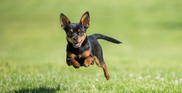 h nghiệm nuôi và chăm sóc chó Chihuahua   Trong chuyên mục cách chăm sócchó cảnhkì này, tạp chíchócảnh sẽ giới thiệu đến các bạn những kinh nghiệm