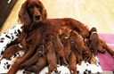 Phương pháp nuôi chó cảnh: chăm sóc chó mẹ