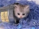 Kinh nghiệm nuôi mèo cảnh