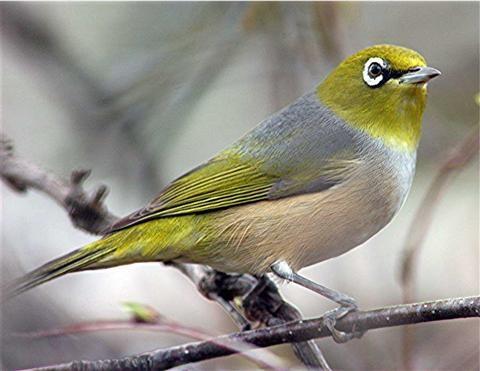 Kinh nghiệm nuôi chim vành khuyên