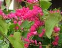 Cách trồng hoa tigon làm đẹp cho không gian nhà bạn