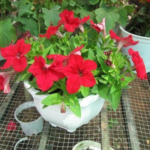 Cách trồng hoa dạ yến thảo cho không gian nhà thêm sinh động