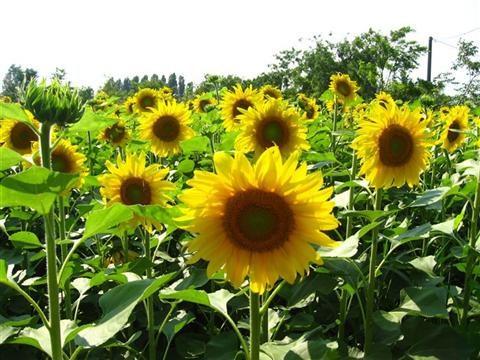 Cách trồng hoa hướng dương cho hoa đẹp