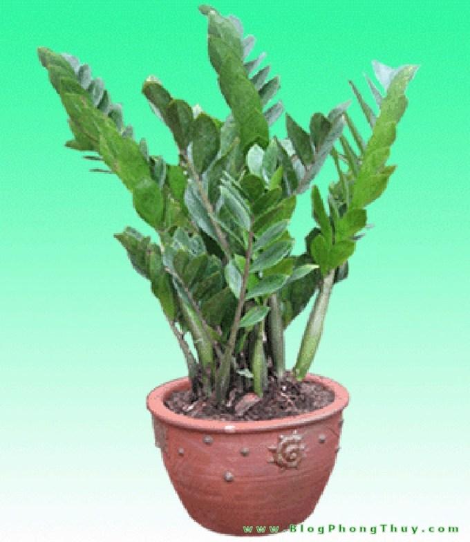 Cách trồng cây kim phát tài