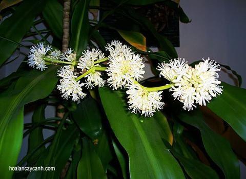 Cách trồng cây thiết mộc lan ra hoa thơm ngát