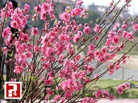 Hướng dẫn trồng hoa đào