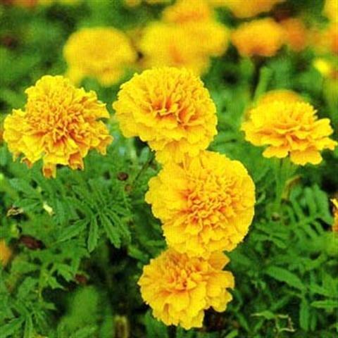Kỹ thuật trồng hoa cúc đón tết