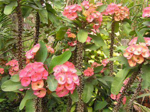 Kỹ thuật trồng hoa bát tiên
